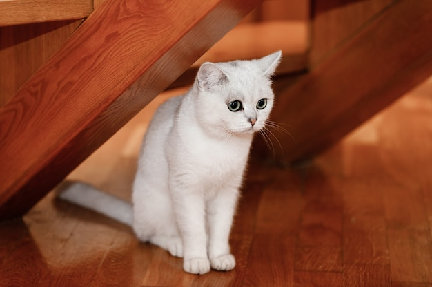 Gato branco com olhos azuis, senta-se em casa sob escadas de madeira