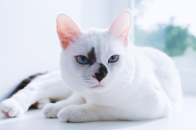 Gato branco com olhos azuis situa-se no peitoril da janela