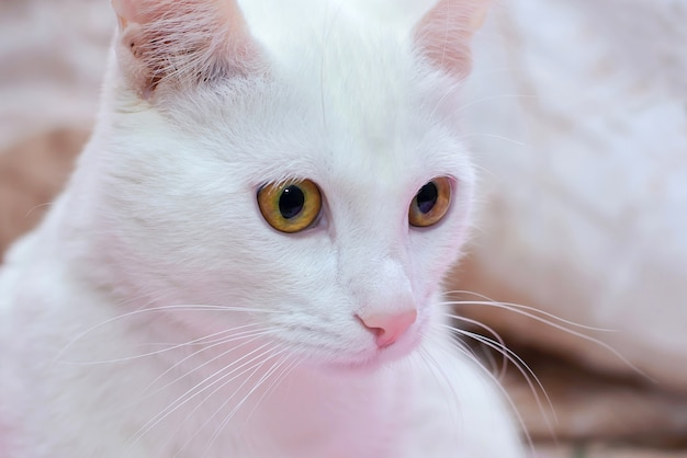 Gato branco com olhos castanhos e nariz rosa close