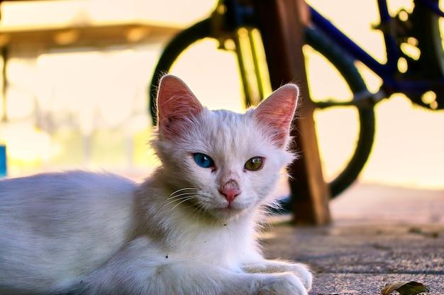 Gato branco com olhos coloridos olha para você. israel.