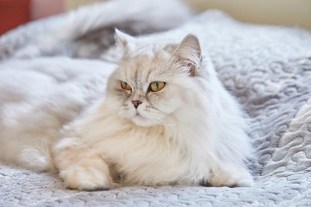 Gato branco de pêlo comprido britânico está sentado em casa na cama.