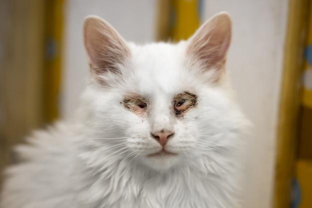 Gato branco doente sem olhos. animal ferido