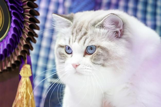Gato branco inteligente com padrão de linha de tigre, sem rosto e olhos azuis.