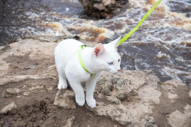 Gato branco na coleira verde de pé na pedra contra a superfície do rio corrente.