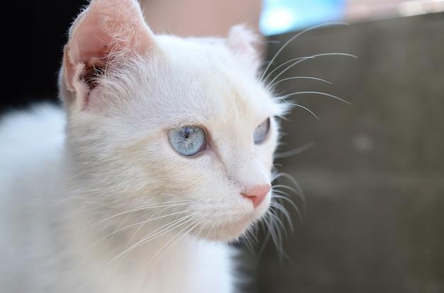 Gato branco puro com olhos azuis turquesas e orelhas com defeito rosa