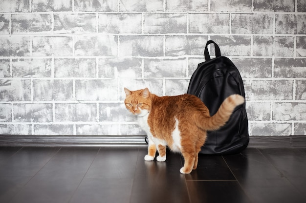 Gato branco vermelho perto de mochila preta na parede de tijolo cinza.