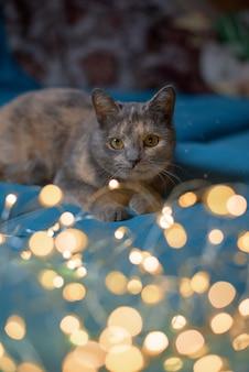 Gato brinca com luzes de natal no sofá. feriado de inverno. animal de estimação favorito.