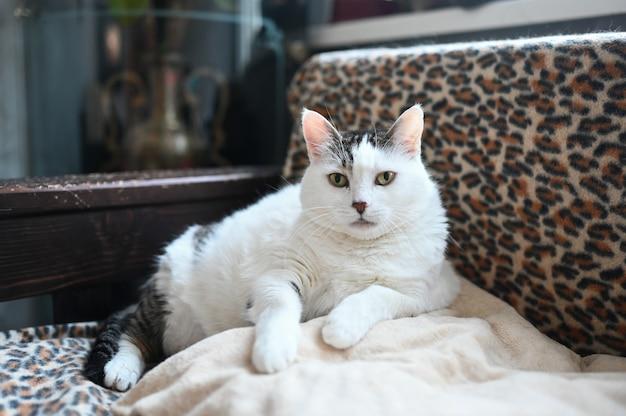 Gato brincalhão gordo engraçado deitado na cama