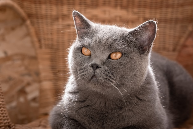 Gato britânico cinzento deitado em uma cadeira de vime na varanda