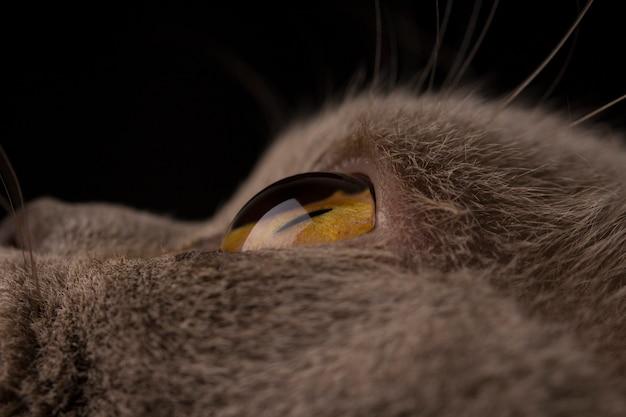 Gato britânico com olhos amarelos em fundo escuro