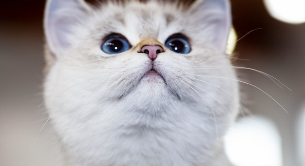 Gato britânico cor branca com olhos azuis