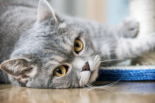 Gato britânico de olhos brincando