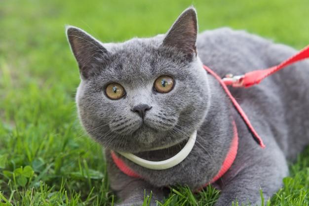Gato britânico do cabelo curto que desgasta o colar branco ao ar livre na grama.