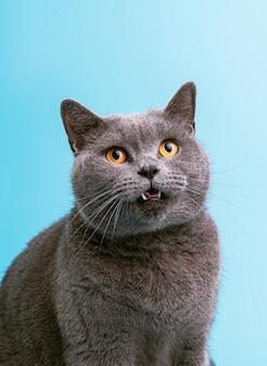 Gato britânico em uma superfície azul lambe e mostra a língua