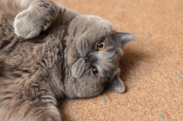 Gato britânico fofo e gordo deitado no chão