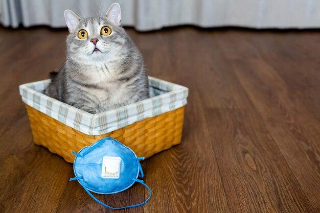 Gato britânico gordo se senta em uma cesta de vime ao lado da máscara protetora. isolamento e quarentena