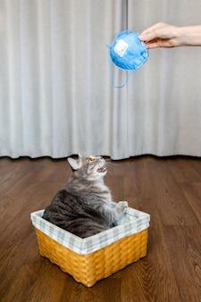 Gato britânico gordo sentado em uma cesta de vime olhando para as mãos da máscara protetora isolamento e quarentena