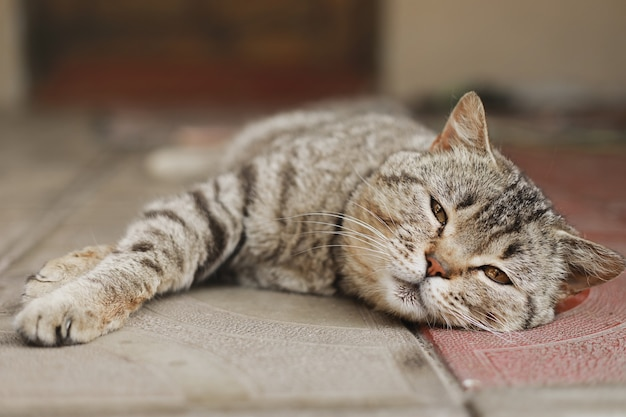 Gato britânico. o retrato foi feito na hora do almoço, quando o gato se deitou para descansar.