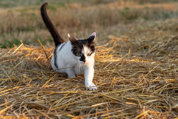 Gato caçando ratos no campo de trigo após a colheita. gato doméstico preto e branco.
