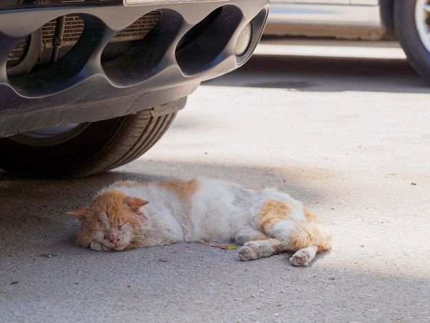 Gato cairo urbano dormindo embaixo do carro na sombra