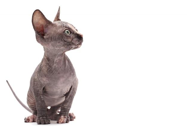 Gato calvo