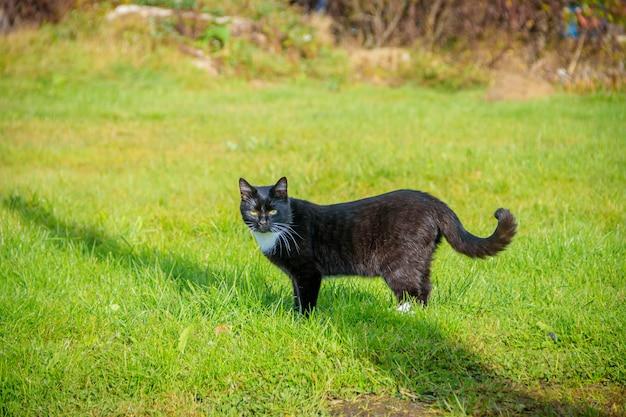 Gato caminha na grama. berçário. grama verde.