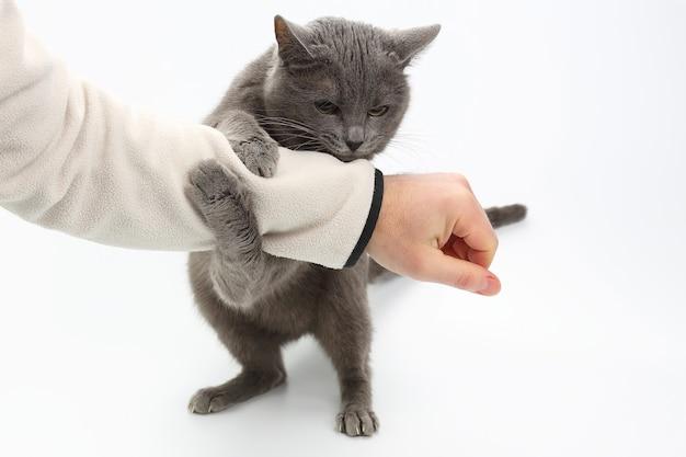 Gato cinza agarrou as patas da mão em fundo branco