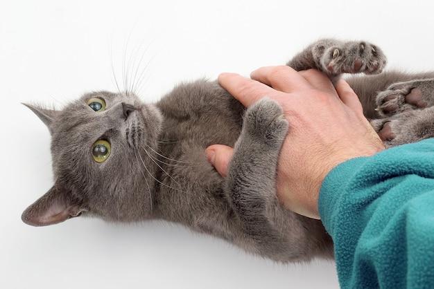 Gato cinza agarrou suas patas de mão em fundo branco. vida doméstica de um querido animal de estimação