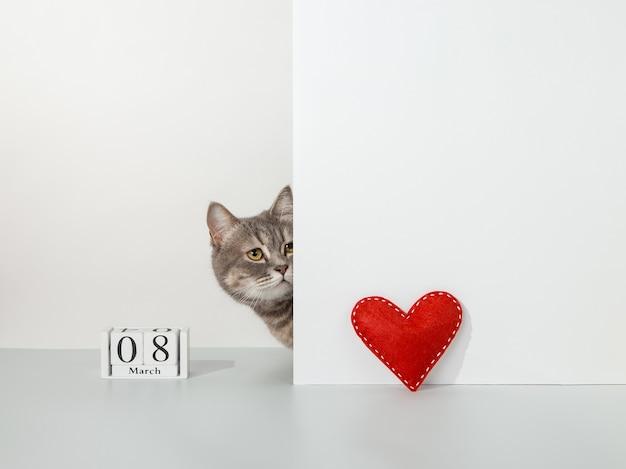 Gato cinza aparece do canto, coração de embarcação vermelha, calendário de 8 de março, em um conceito de animal de estimação branco.