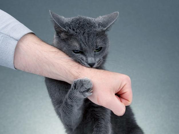 Gato cinza apertou as patas com a mão de um homem