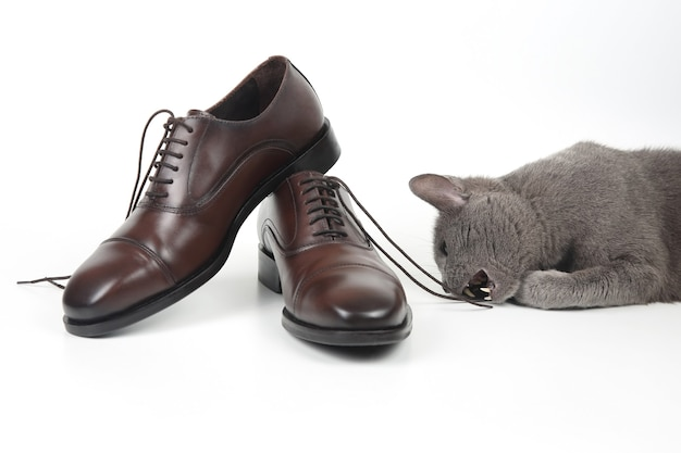 Gato cinza brinca com um sapato marrom clássico de renda masculina em fundo branco