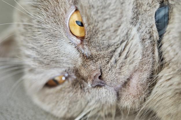 Gato cinza britânico encontra-se no sofá, close-up.
