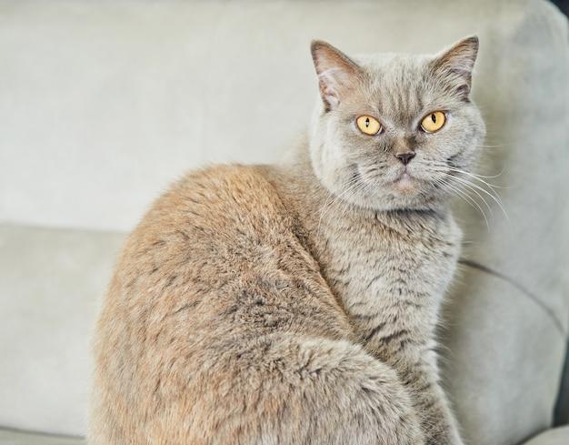 Gato cinza britânico está sentado no sofá, close-up.