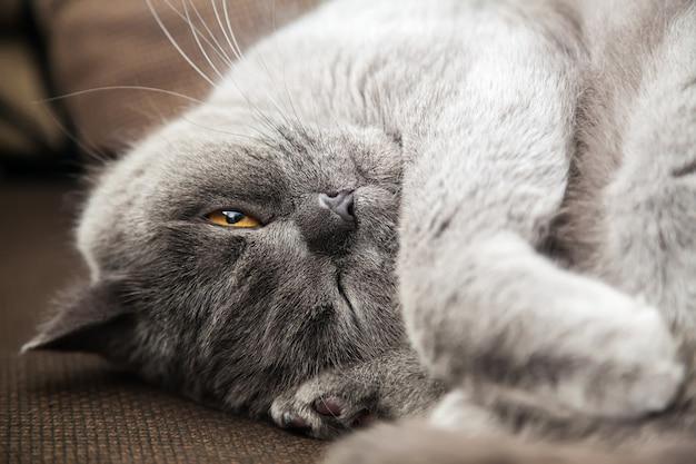 Gato cinza britânico relaxado deitado com um olho fechado