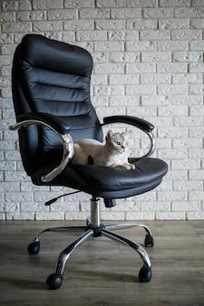 Gato cinza britânico sentado em uma poltrona de couro preto