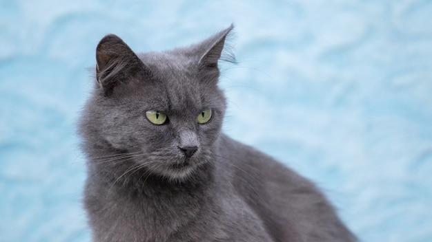 Gato cinza close-up em um fundo azul claro