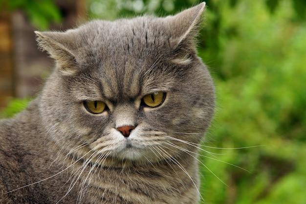 Gato cinza com ressentimento olhando para trás em uma superfície de grama verde