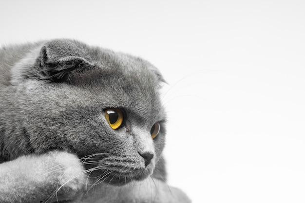Gato cinza de pêlo curto britânico com belos olhos em um fundo branco