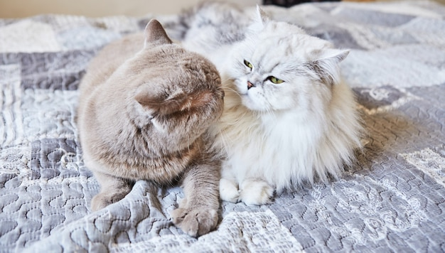 Gato cinza de pêlo curto britânico e casal doce gato de pêlo longo britânico branco.