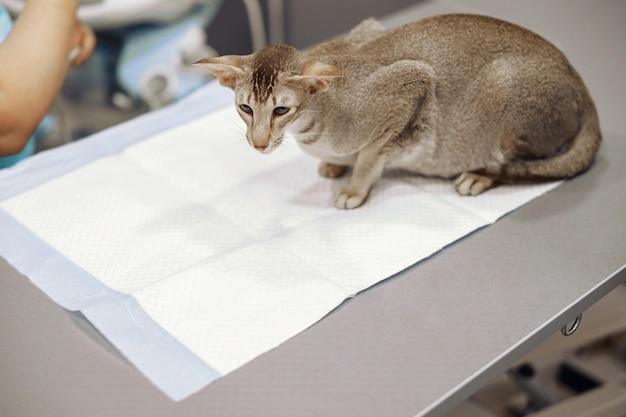 Gato cinza de pêlo curto sentado na mesa coberta com forro descartável no consultório da clínica veterinária
