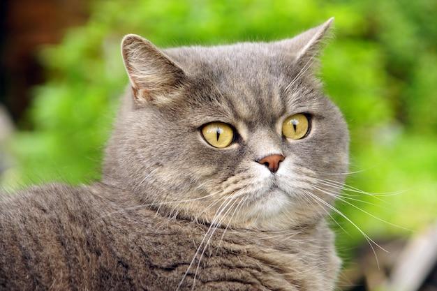 Gato cinza de raça britânica olha com seus olhos amarelos contra a superfície de um campo verde