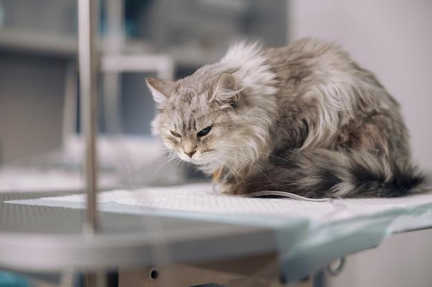 Gato cinza em infusão intravenosa sofre de dor na mesa