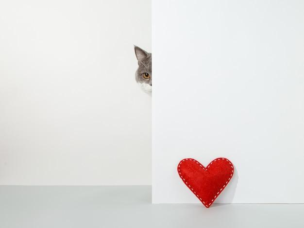 Gato cinza espreita do canto, emoções animais, coração de artesanato vermelho, dia dos namorados, em um conceito branco.
