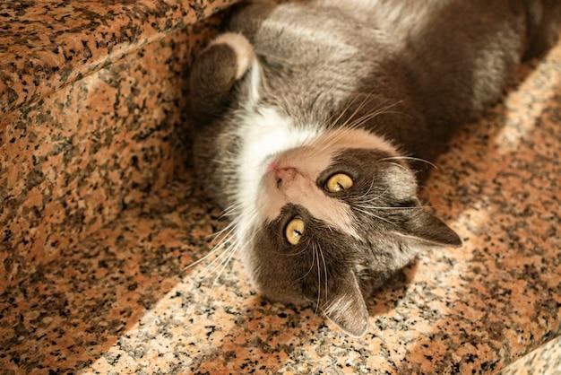 Gato cinza fofo rola na escada