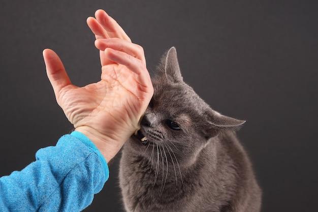 Gato cinza mordendo agressivamente a mão do homem