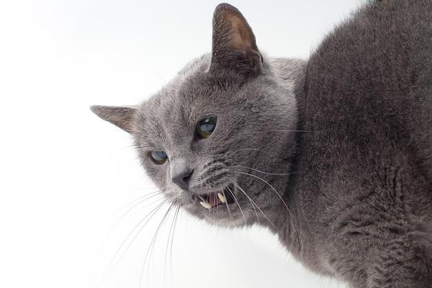 Gato cinza mostra presas agressivas em um fundo branco. vida doméstica de um querido animal de estimação
