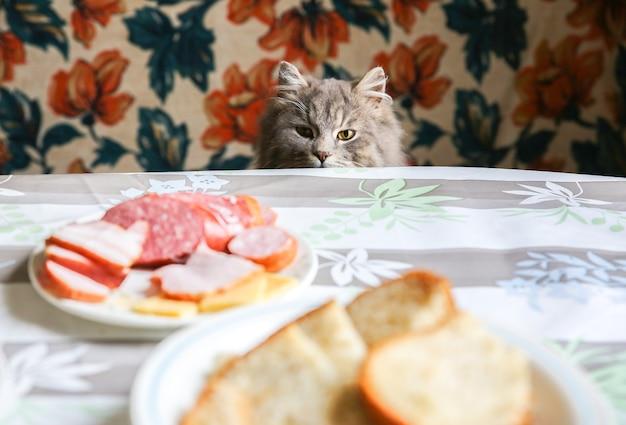 Gato cinza perto da mesa. animal de estimação fofo quer roubar comida. animais famintos em casa.