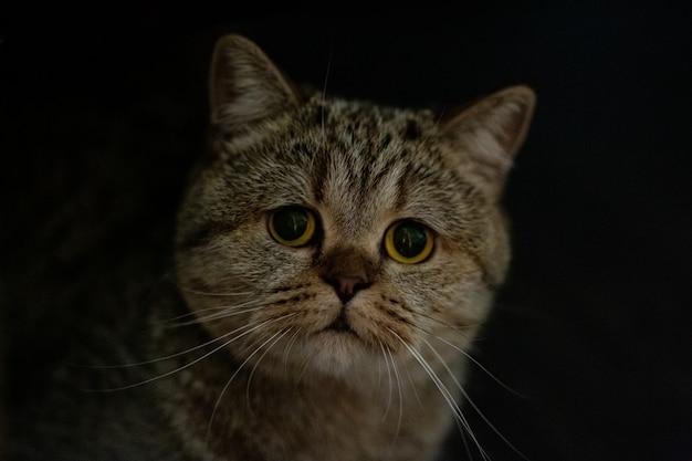 Gato cinza-prata curto marmorizado adulto scottish straight