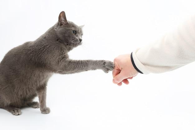 Gato cinza toca a pata com garras na mão do homem