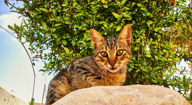 Gato cinzento bonito olha para você. israel.